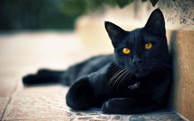 gatto nero sdraiato