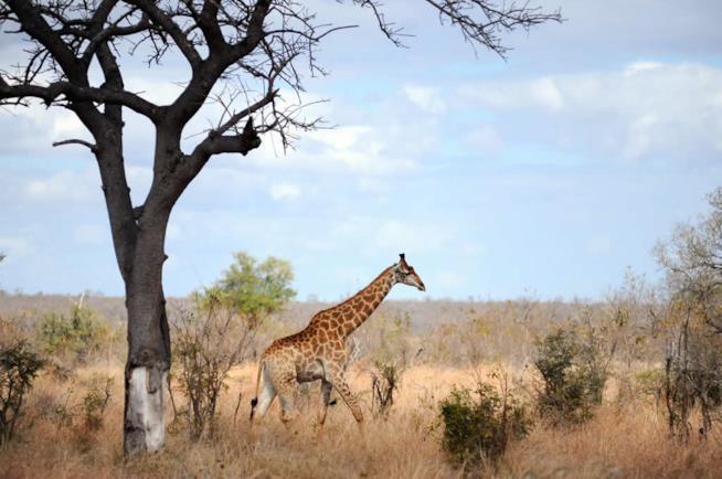Safari nel Parco Kruger in Sudafrica