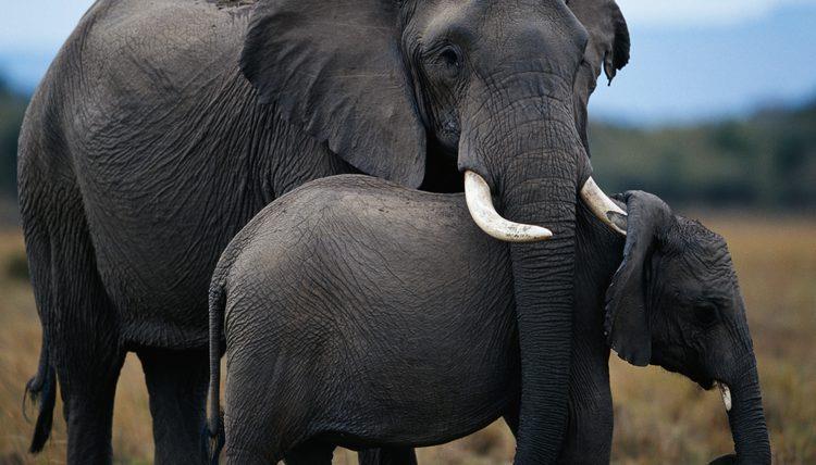 Un cucciolo di elefante con sua mamma