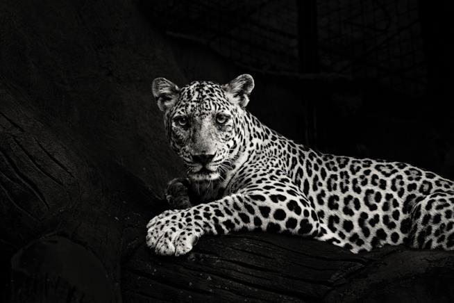 La foto in bianco e nero di un leopardo