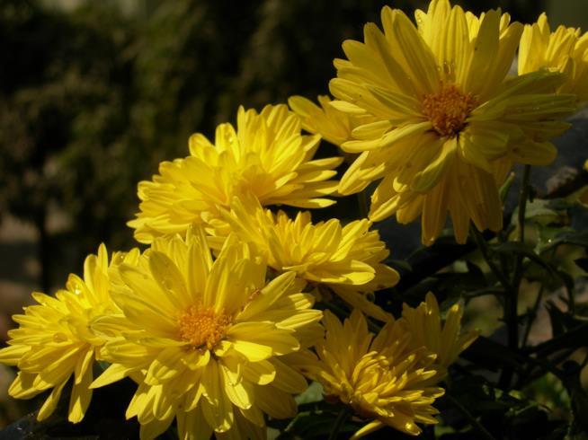 Fiori di Chrysanthemum morifolium