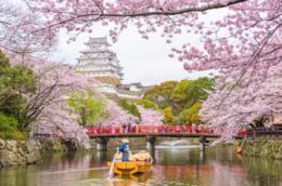 Dei ciliegi in fiore in Giappone