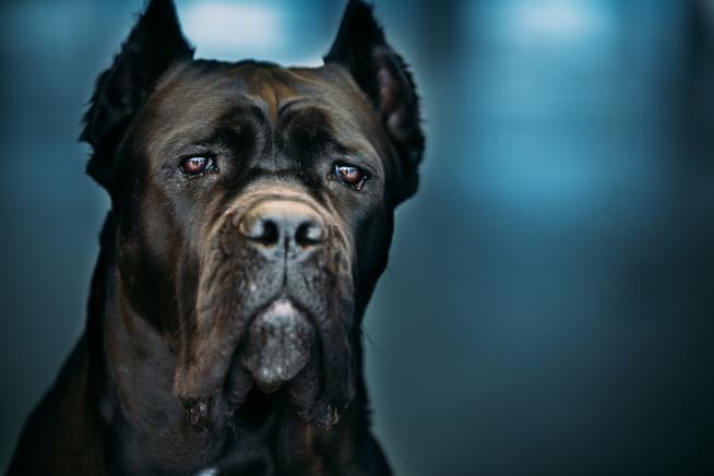 Cane corso nero