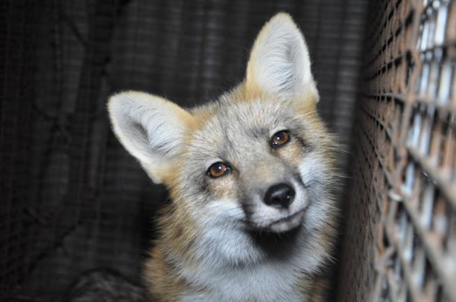 Una volpe rossa in gabbia