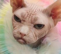 Loki, il gatto più incazzato di Instagram [GALLERY]