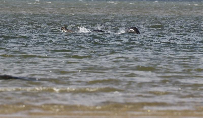 Delle foche nel lago di Loch Ness
