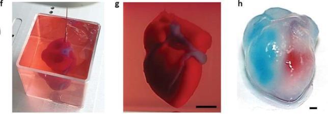 Tre fasi della creazione di un cuore stampato in 3D