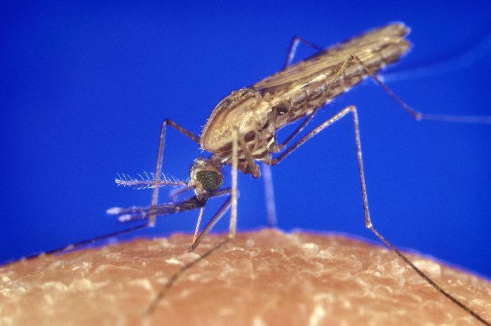Una zanzara del genere Anopheles