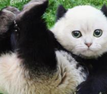 Un gatto/panda