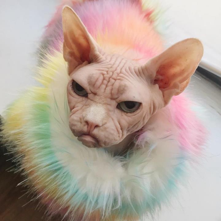 Il gatto Loki vestito con un completo arcobaleno