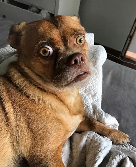 Bacon che fissa la fotocamera della padrona mentre è sdraiato nella sua cuccia