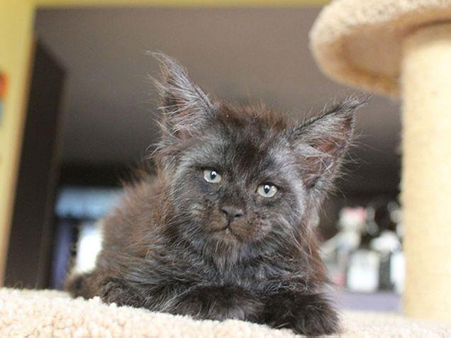 Valkyrie il gatto dallo sguardo umano