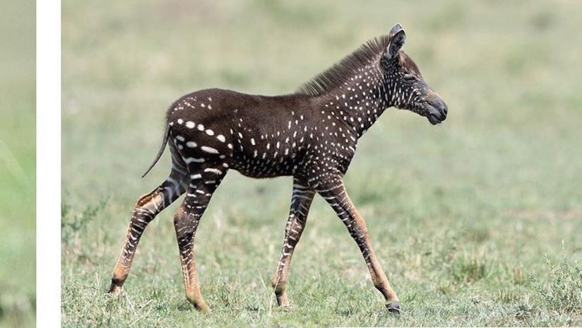 Tira, la zebra a pois