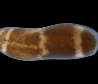 """Uno scatto del """"verme pantera"""" Hofstenia miamia"""
