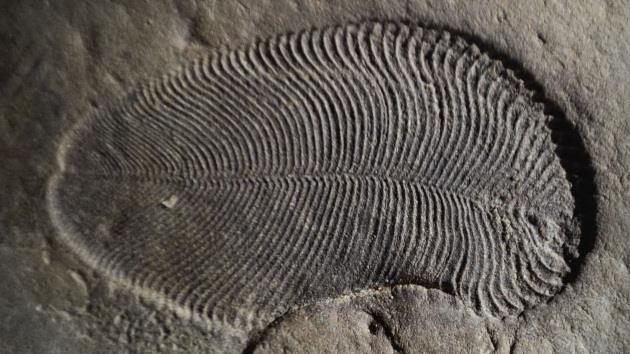 Un fossile di Dickinsonia