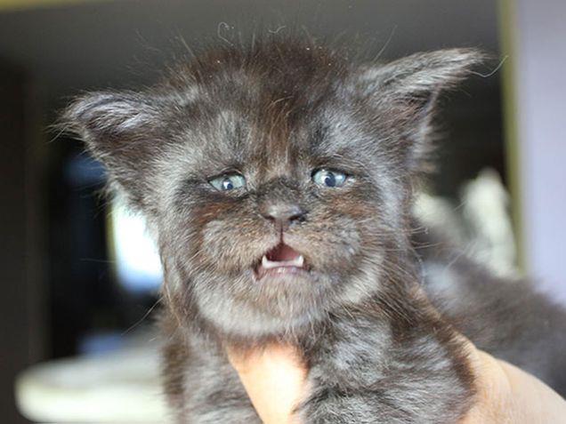 Il gatto Valkyrie