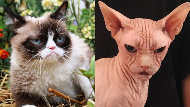 Grumpy Cat e il suo rivale, il gatto incazzato Loki