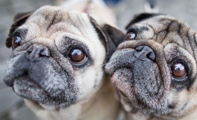 Due carlini, cani di razza