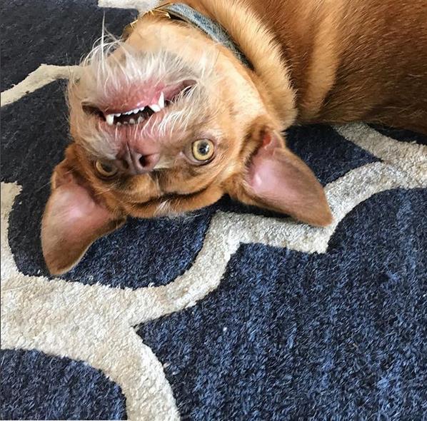 Bacon Bacon sdraiato a pancia all'aria sul tappeto