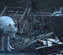 Ghost in un'immagine dall'episodio 8x04 di Game of Thrones