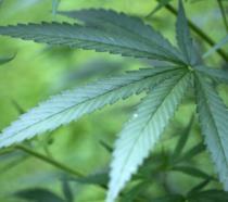 Una foglia di cannabis