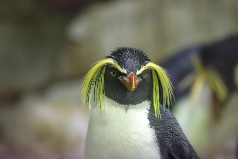 Un esemplare di pinguino crestato