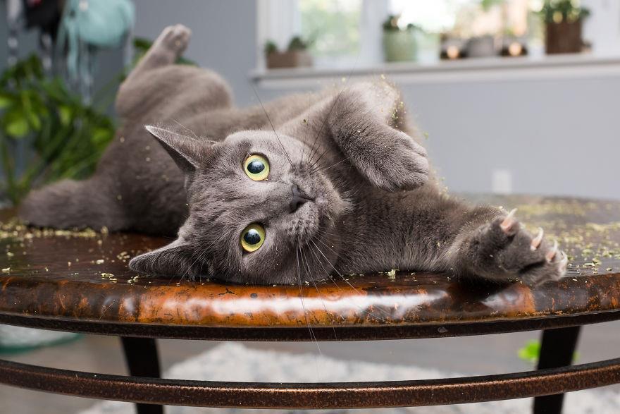 Gatti ed erba gatta: gatto col pelo grigio scuro