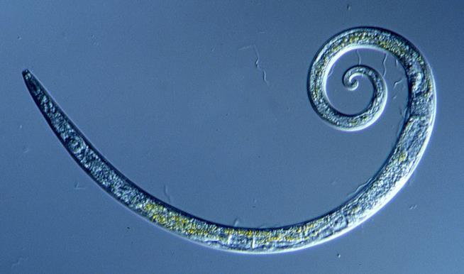 Un dettaglio dei piccoli vermi rimasti congelati per ben 42mila anni.