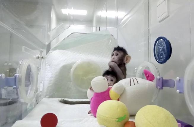 Le scimmie clonate Zhong Zhong e Hua Hua in laboratorio