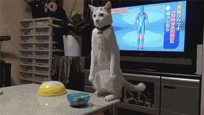 Gif di un gatto che sta in piedi davanti alla tv