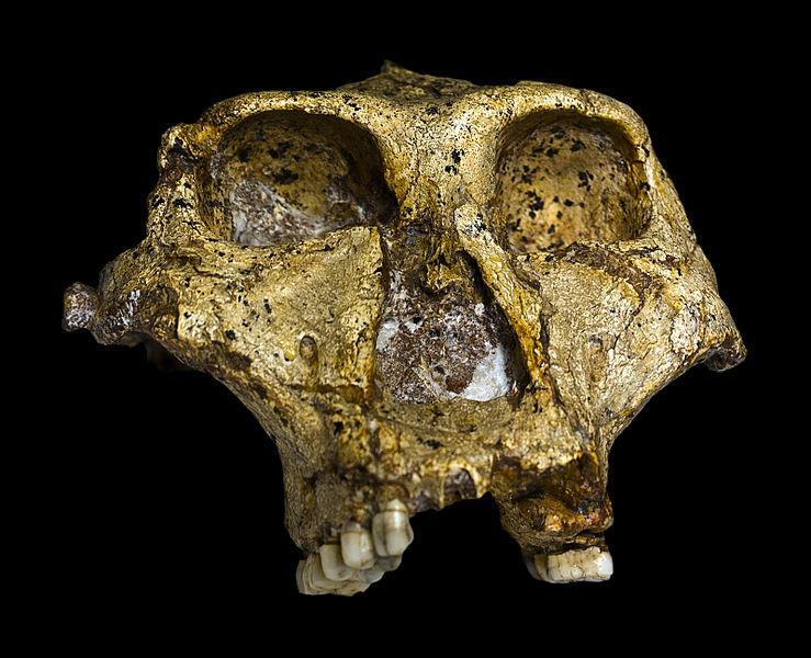 Il volto e il teschio del Paranthropus robustus