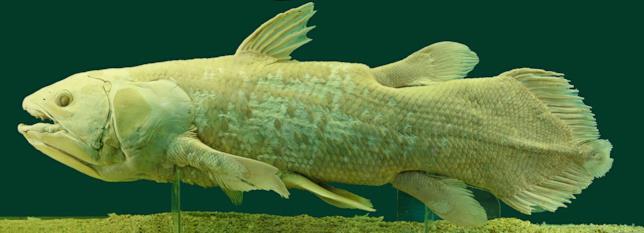 Il Celacanto è un pesce preistorico creduto estinto