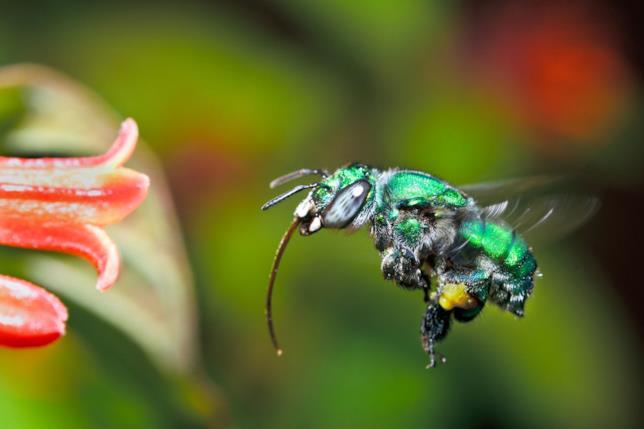 La specie d'ape Euglossa Bazinga