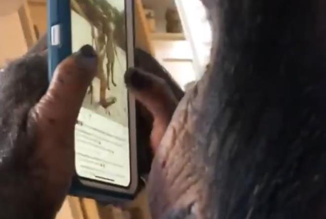 Lo scimpanzé con lo smartphone in mano