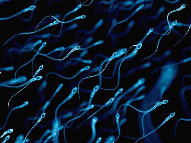 Una foto di spermatozoi umani