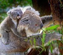 Due koala, uno dei animali-simbolo dell'Australia