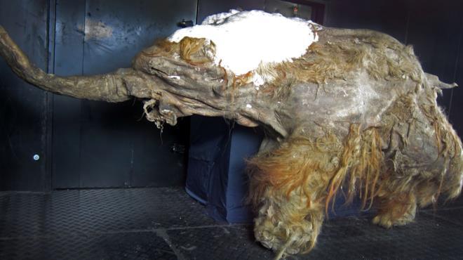 Un esemplare di Mammut lanoso esposto in un museo