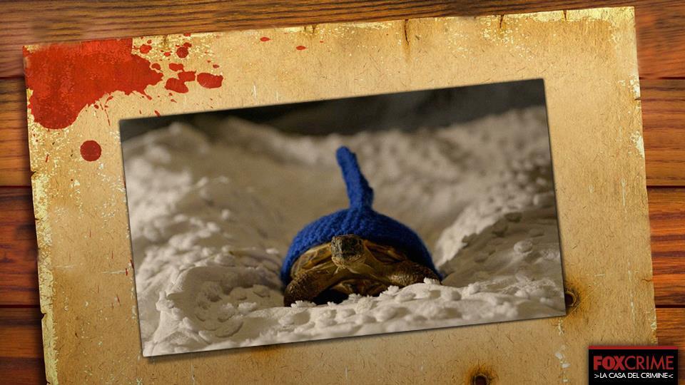 È una tartaruga con un cappello, cosa volete di più?