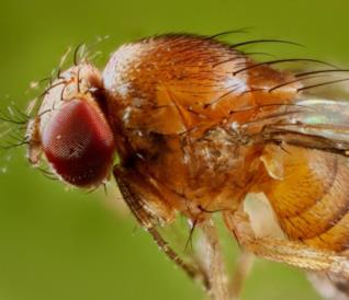 Un moscerino della frutta visto da vicino