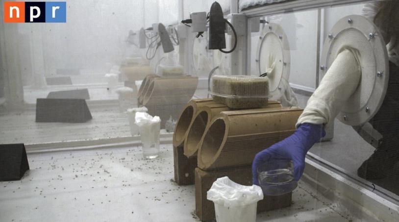 Una fase dei test sulle zanzare OGM