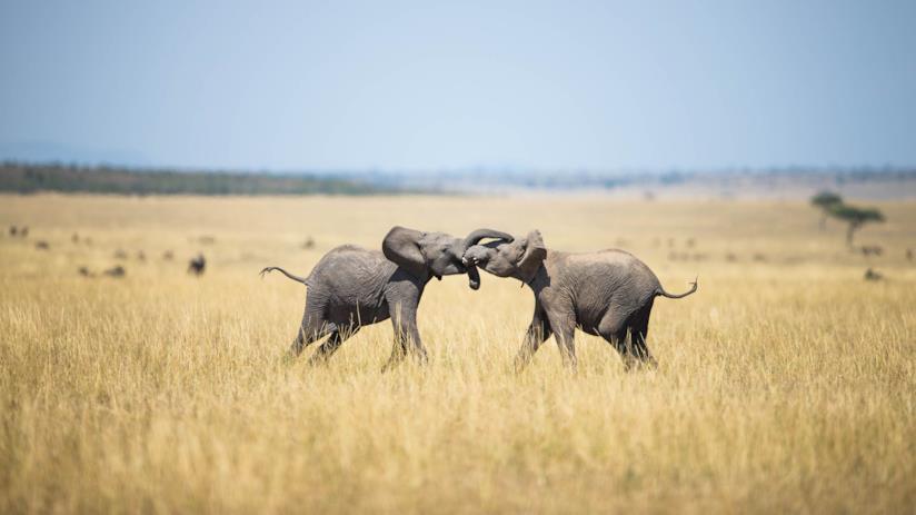 Elefanti si danno battaglia