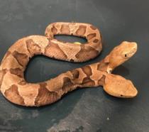 Il raro serpente a due teste ritrovato in Virginia