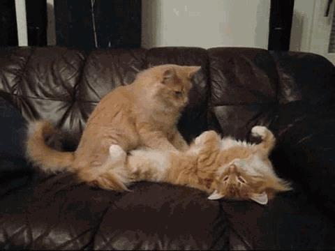 Gif di due gatti che si coccolano